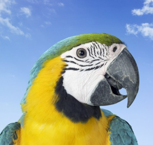 Close Up of a Blue and Yellow Macaw : Stock Photo