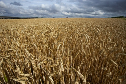 Stock Photo: 1527R-100862 England, Wiltshire, Chiseldon, corn field