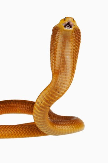 Cape Cobra (Naja nivea) rearing up with mouth open, close-up : Stock Photo