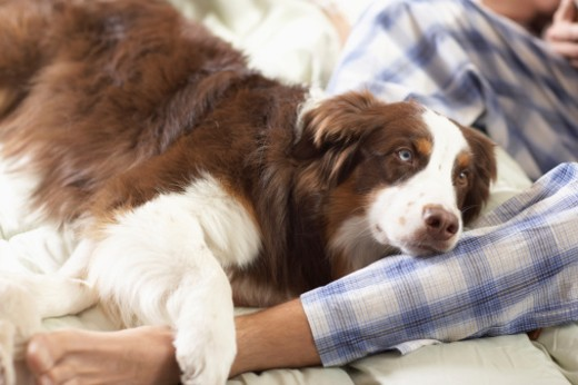 Dog laying on man's leg : Stock Photo