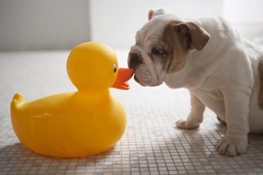 Dog with plastic duck : Stock Photo