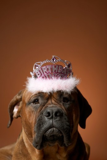 Stock Photo: 1527R-1103516 Dog with birthday crown on head