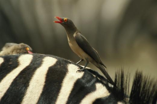Zebra (Equus burchelli), Kruger National Park, Mpumalanga Province, South Africa. : Stock Photo