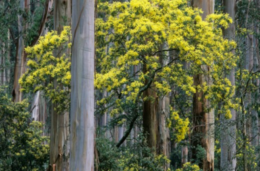 These silver wattle (Acacia dealbata) and mountain ash (Eucalyptus regnans) trees are in Dandenong Ranges, Jan 2006. : Stock Photo