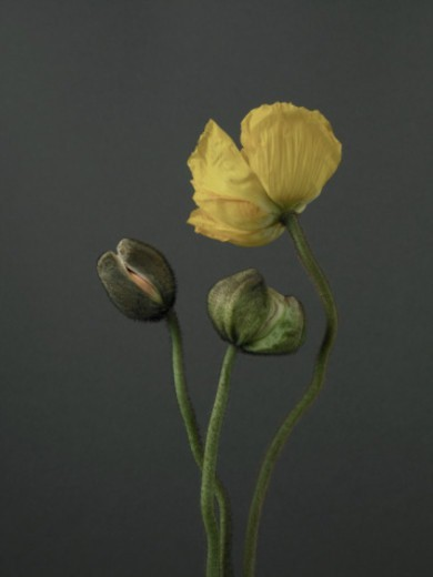 Yellow poppy (Papaver bracteatum) and two budding stems : Stock Photo