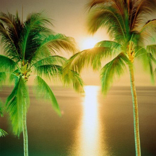 Palm trees (Palmaceae). Pacifiic Ocean : Stock Photo