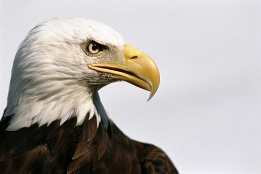 Stock Photo: 1527R-1145593 Bald eagle (Haliaeetus leucocephalus), close-up, side view