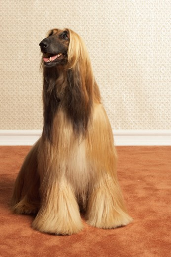 Stock Photo: 1527R-1159998 Afghan hound sitting in room
