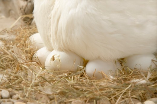 Stock Photo: 1527R-1164735 Duck eggs hatching under mother duck, close-up