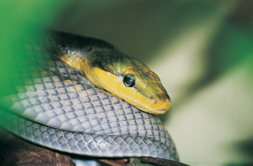 Snake : Stock Photo