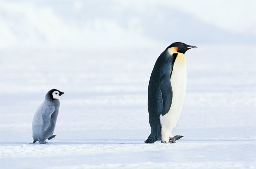 Emperor Penguin (Aptenodytes forsteri) : Stock Photo
