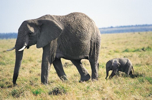 Young African Elephant Following an Adult African Elephant : Stock Photo