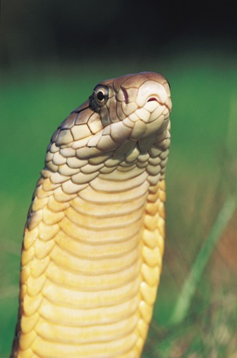 Headshot of a King Cobra : Stock Photo
