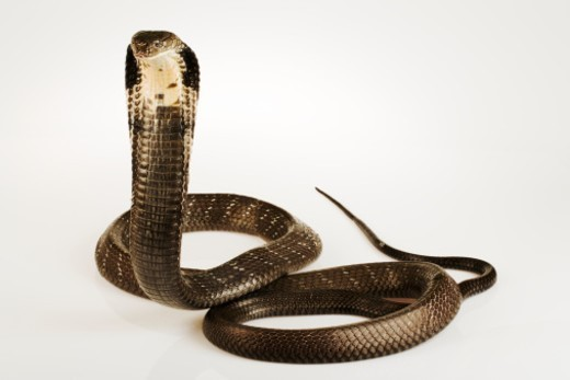 Stock Photo: 1527R-1183956 Rearing up to form hood. Largest venomous snake that feeds mostly on other snakes. Good swimmers that lives near water. Native to Southeast Asia.