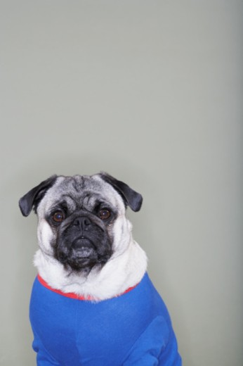 Stock Photo: 1527R-1196706 Pug wearing shirt