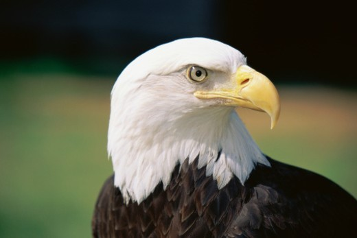 Stock Photo: 1527R-1205860 Head of Bald Eagle