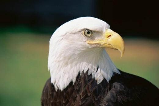 Head of Bald Eagle : Stock Photo