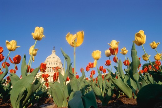 Tulips with Capitol Building in background : Stock Photo