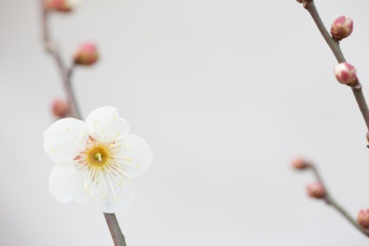 Plum tree in bloom : Stock Photo