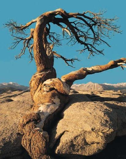 A Jeffrey pine, Yosemite National Park, California, USA : Stock Photo
