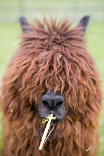Llama chewing grass and hay, fur covering eyes, close-up : Stock Photo