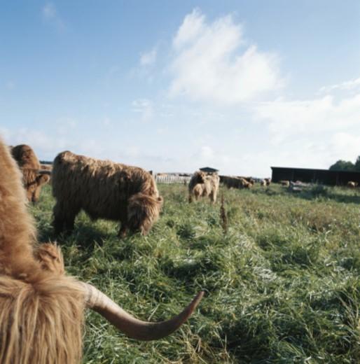 Yak herd grazing in field : Stock Photo