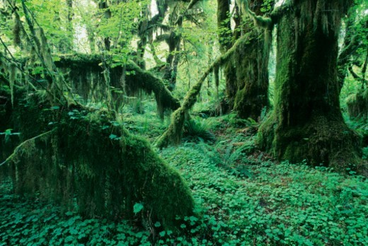 Stock Photo: 1527R-1214743 USA, Washington State, Olympic National Park, Hoh Rain forest