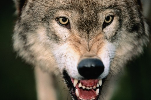 Stock Photo: 1527R-1218819 Gray Wolf Growling
