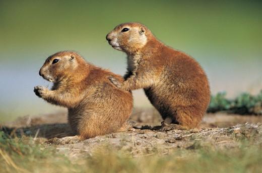 Stock Photo: 1527R-246058 Prairie Dog (Cynomys ludovicianus), Custer State Park, South Dakota, USA