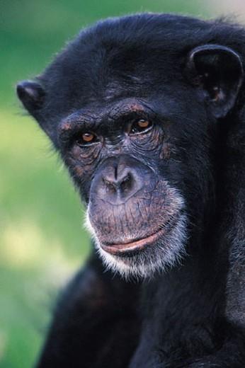 Stock Photo: 1527R-246081 Chimpanzee (Pan troglodytes)