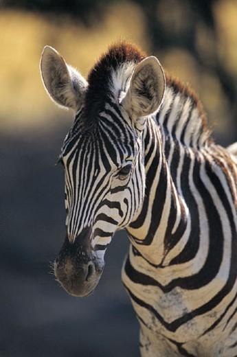 Burchell's Zebra (Equus burchelli) : Stock Photo