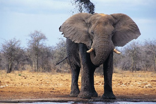 Stock Photo: 1527R-278035 Elephant (Loxodonta africana)