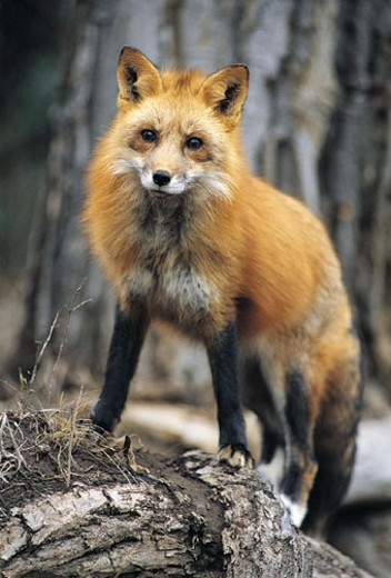 Red Fox (Vulpes vulpes), Montana, USA : Stock Photo