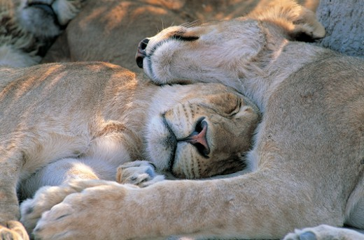 Lions asleep (Panthera leo) : Stock Photo