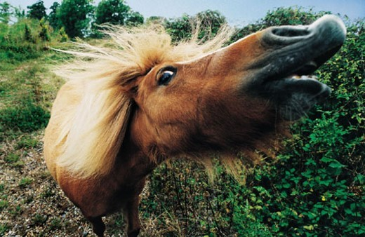 Close-up of Pony with Mouth Open : Stock Photo