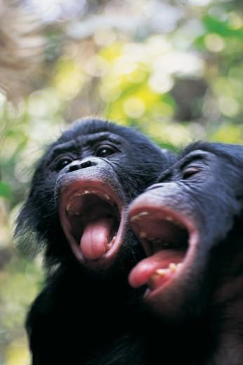 Two Noisy Chimpanzees (Pan troglodytes) : Stock Photo