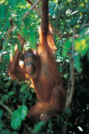 Orang-utan in trees (Pongo Pygmaeus) : Stock Photo