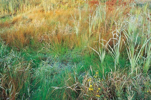 Stock Photo: 1527R-312046 Reeds and Cattails, Rocky Forks Lakes Conservation A