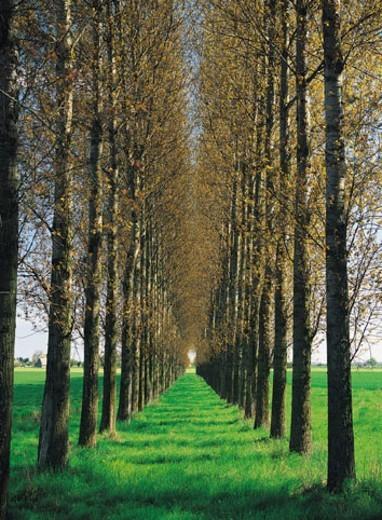 Row of Trees : Stock Photo