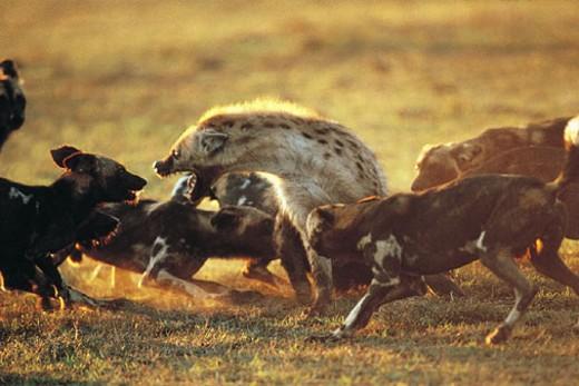 Hunting Dogs (Lycaon pictus) attacking Hyena (Hyaena hyaena) : Stock Photo