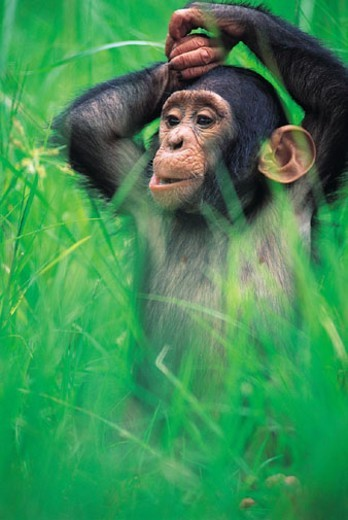 Young Chimpanzee (Pan troglodytes) : Stock Photo
