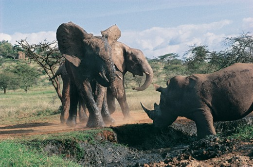 Confrontation between Rhinos and African Elephant herd : Stock Photo