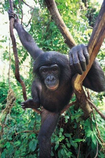Young Chimpanzee (Pan troglodytes) : Stock Photo
