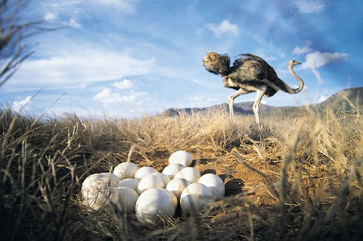 Stock Photo: 1527R-321070 Close-up of Ostrich eggs with Ostrich in background (Struthio camelus)