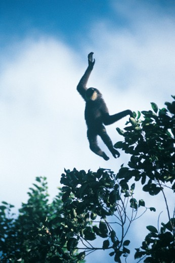 Leaping Gibbon : Stock Photo
