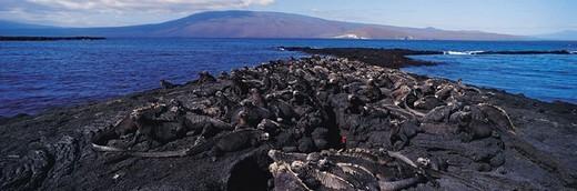 Stock Photo: 1527R-393074 Marine Iguanas (Amblyrhynchus cristatus), Punta Espinosa, Isla Ferdinandina, Galapagos Islands