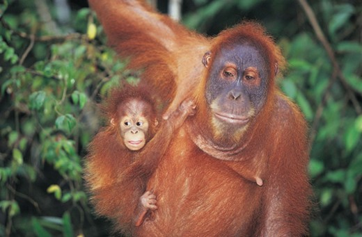 Orangutan with Young (Pongo pygmaeus) : Stock Photo