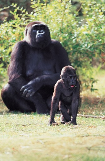 Lowland Gorillas (Gorilla gorilla gorilla) : Stock Photo