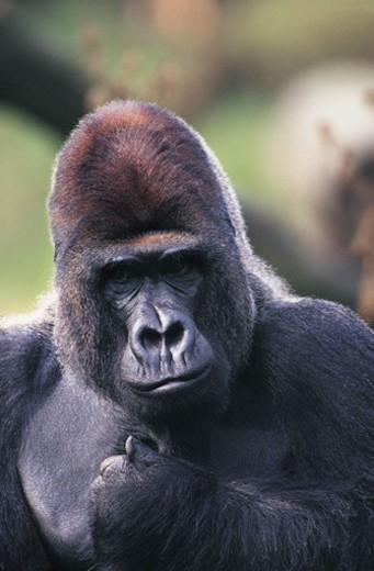 Lowland Gorilla (Gorilla gorilla gorilla) : Stock Photo