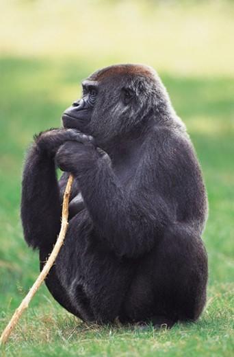 Stock Photo: 1527R-611088 Lowland Gorilla (Gorilla gorilla gorilla)
